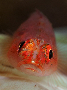Goby. Tulamben, Bali by Doug Anderson 